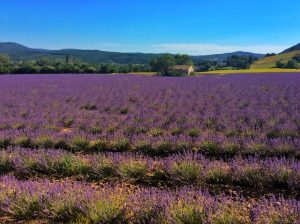 lavender field near Sault, France