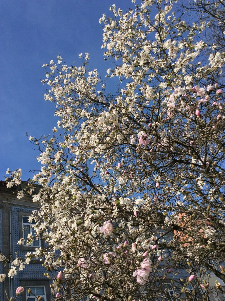 Magnolia tree in Porto