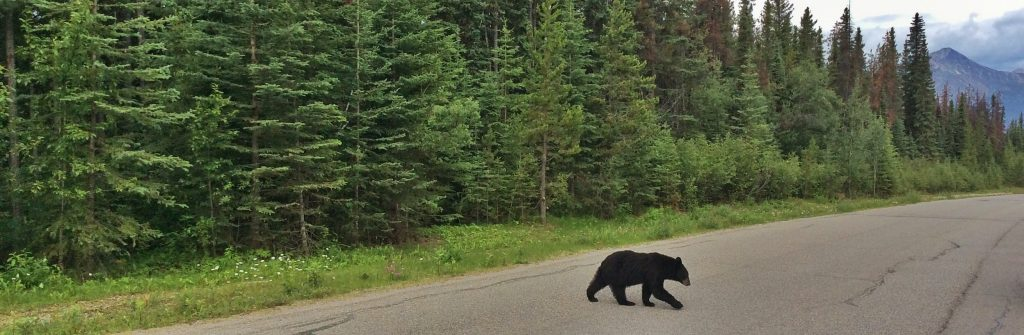 Wildlife in the Canadian Rockies: black bear
