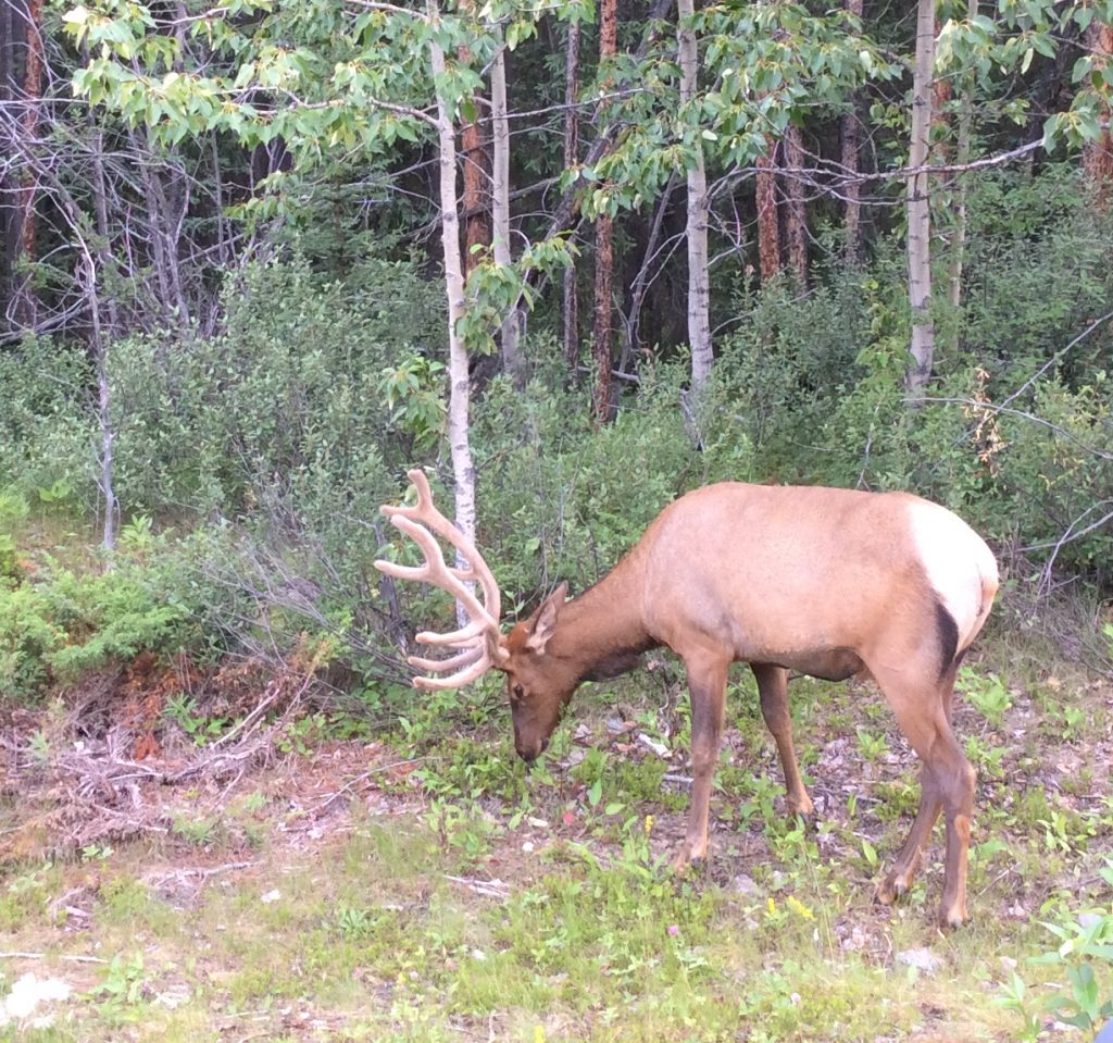 Wildlife in the Canadian Rockies: elk