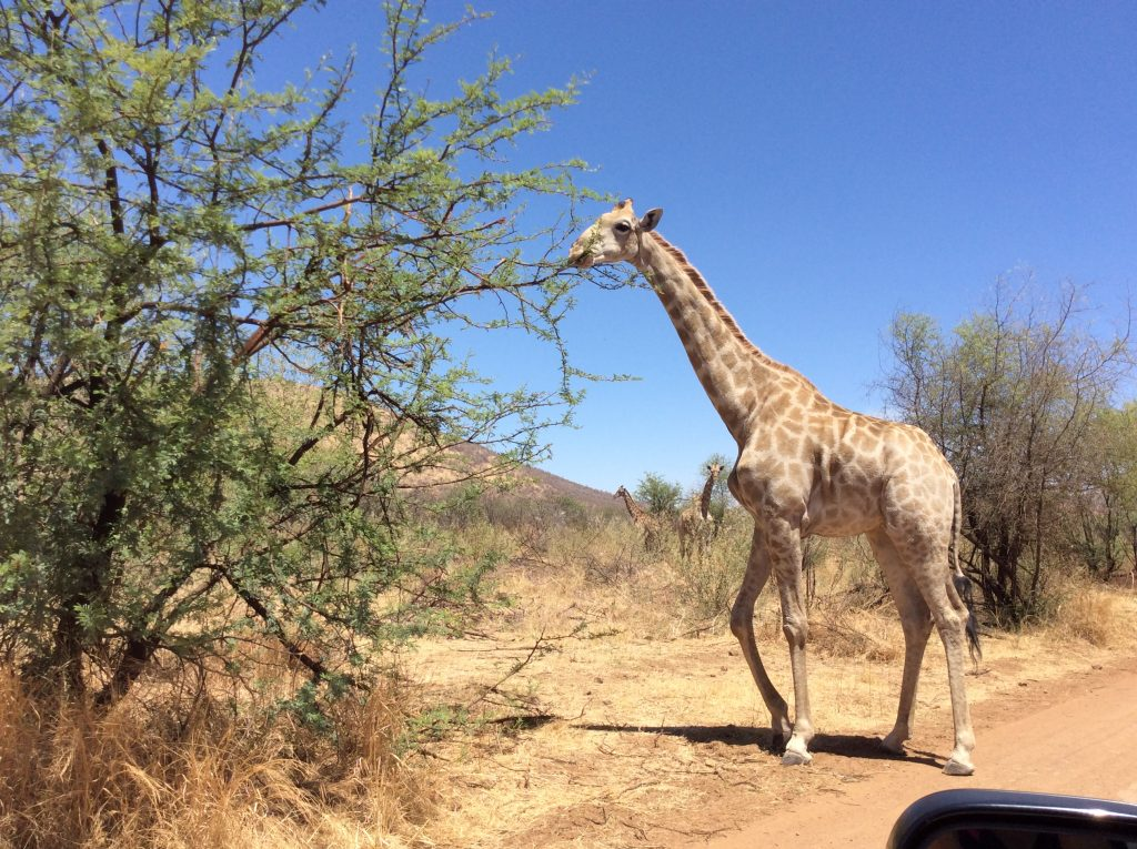 Giraffe at lunch