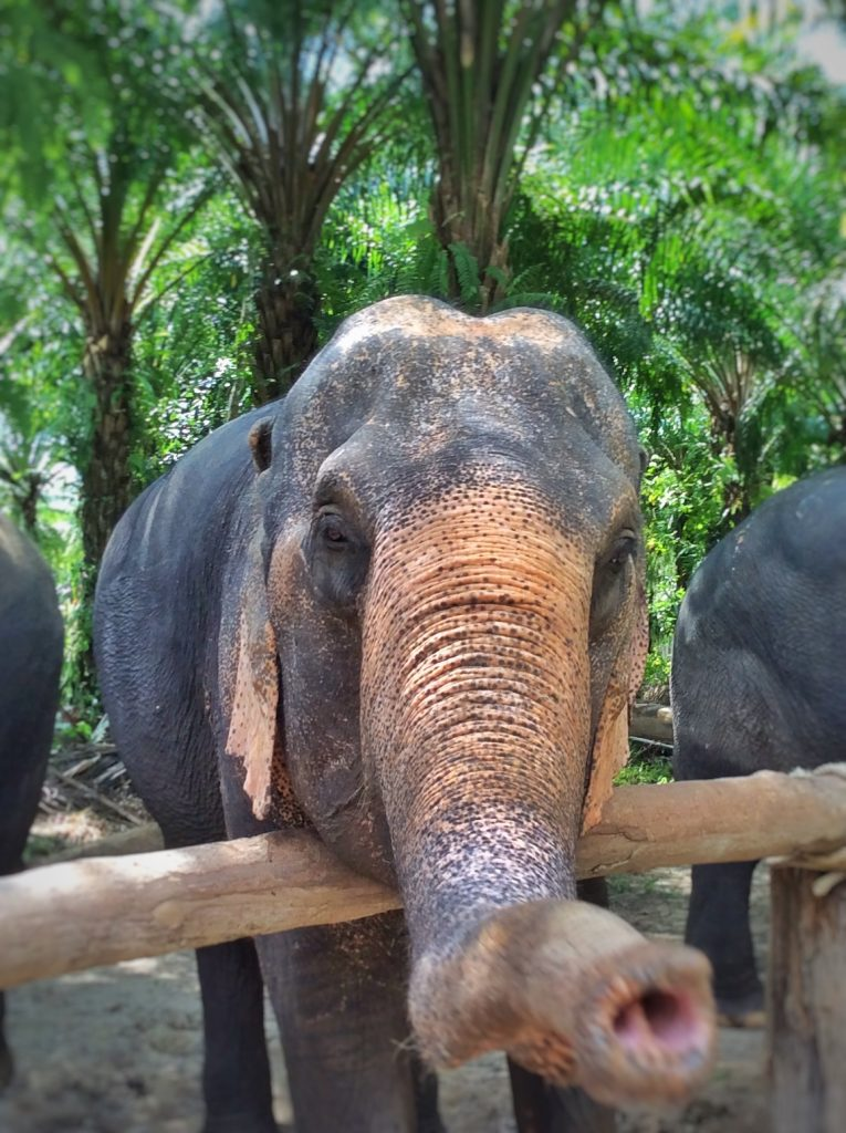 Elephant at a sanctuary in Thailand