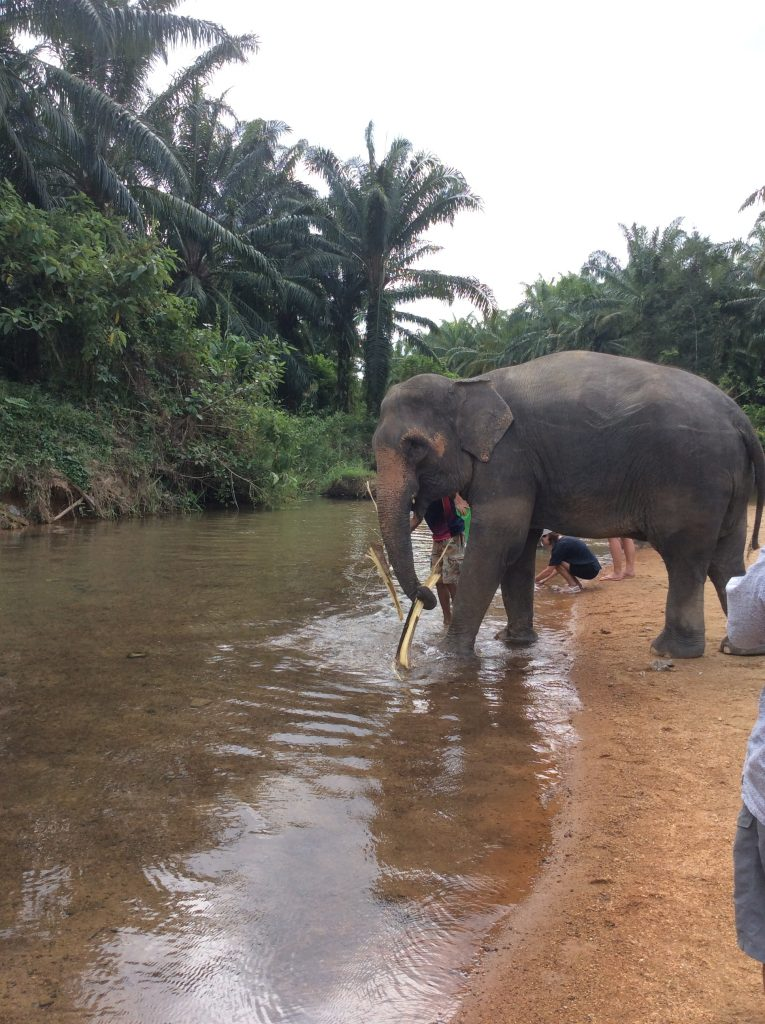 Elephant getting ready for a bath in Thailand