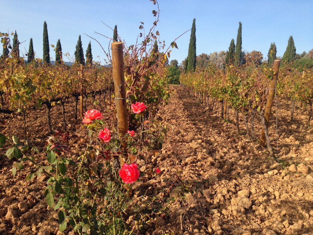 roses on the vinyard alert to pests affecting the vines