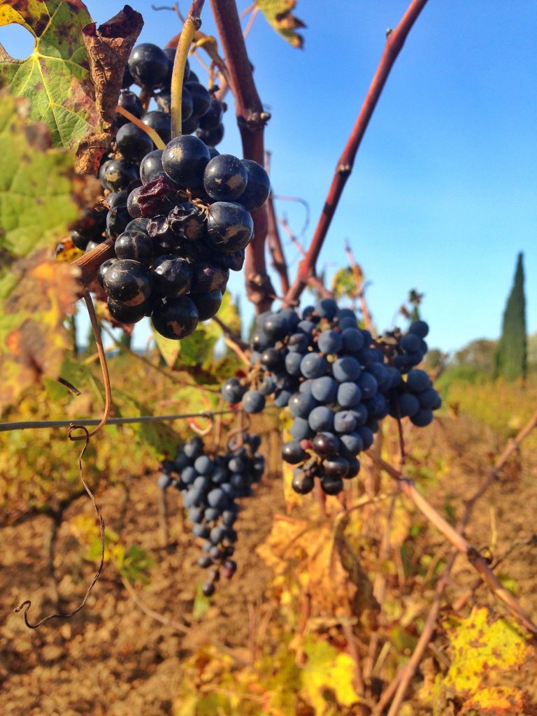 grapes on the vine in the Penedès wine region