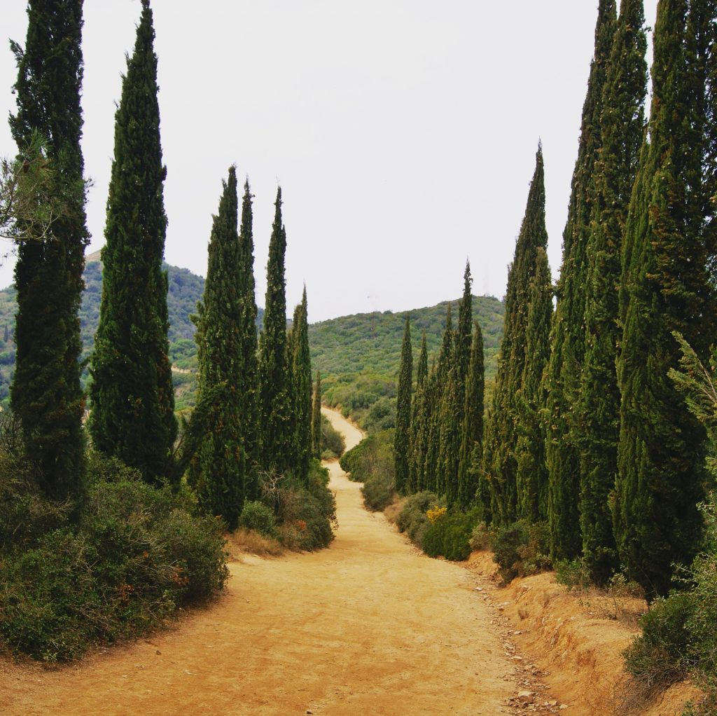 cypress trees line the trail